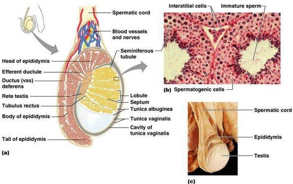 testis anatomisi